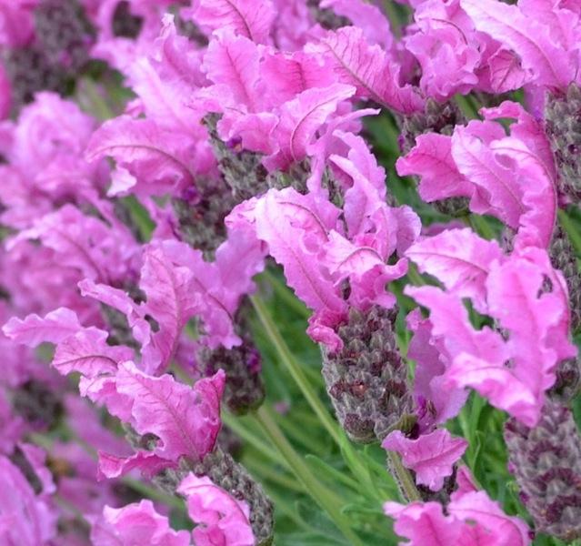 Lavandula 'The Princess Lavender'