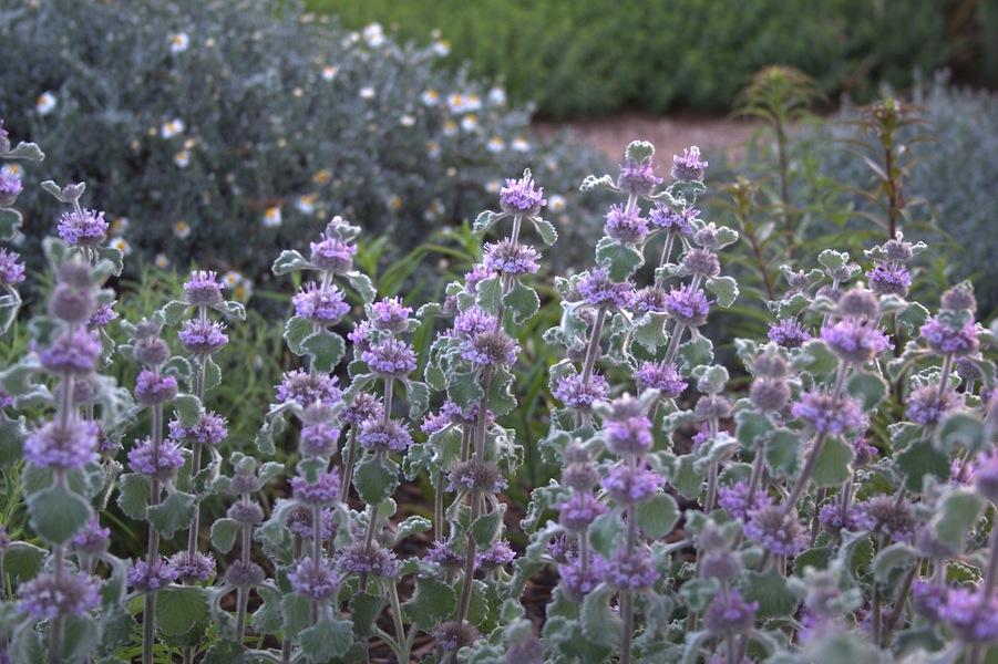 Marrubium 'Scallop Shell' in flower