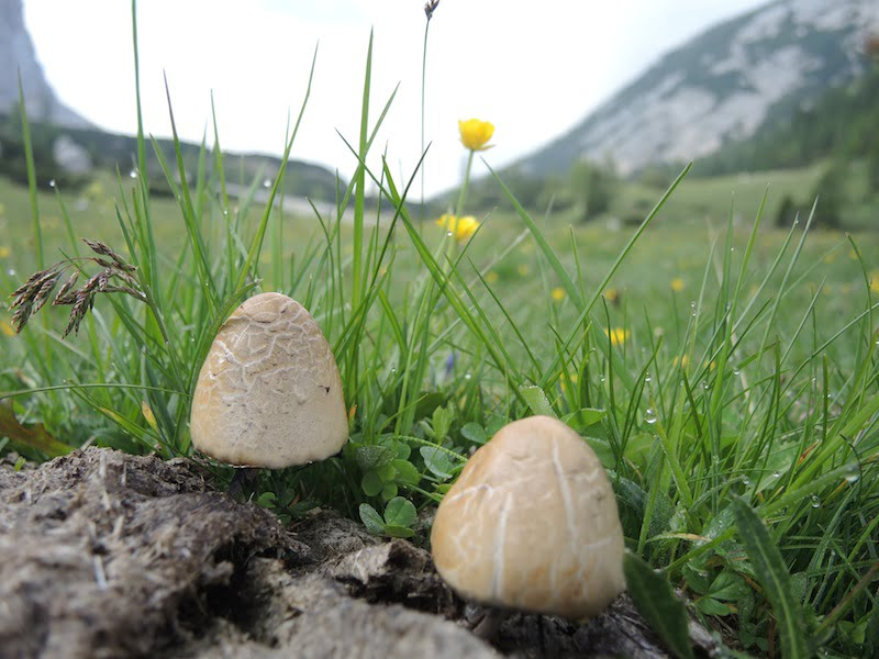 Mushrooms high alpine meadow Dolomites