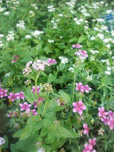 starman geraniums and whit mistflower