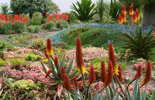 Aloes and succulents in Attila Kapitany garden Photo Tim Entwisle