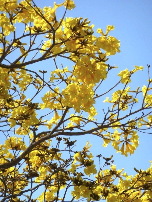 Tabebuia aurea flowers
