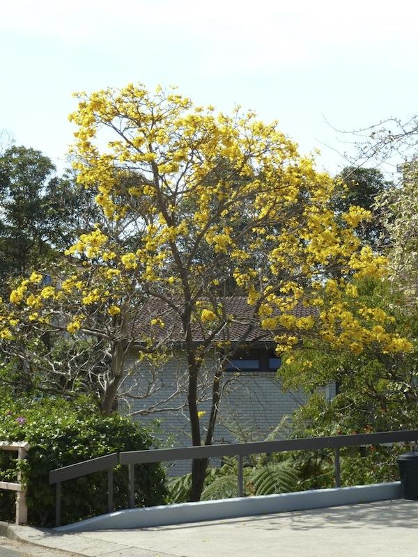 Tabebuia aurea in Sydney, mid September