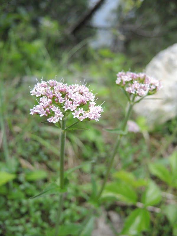 Veleriana montana