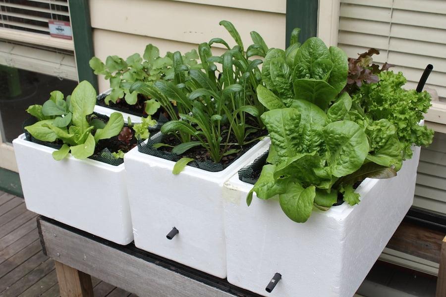 My self-watering pot success, 4 weeks on