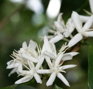 Coffea arabica flowers Photo by B.navez