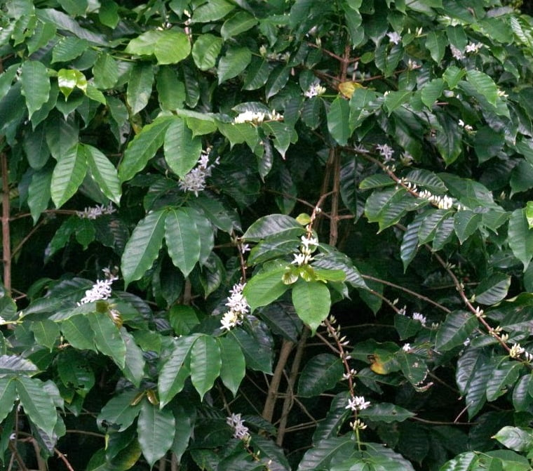 Coffee tree flowering