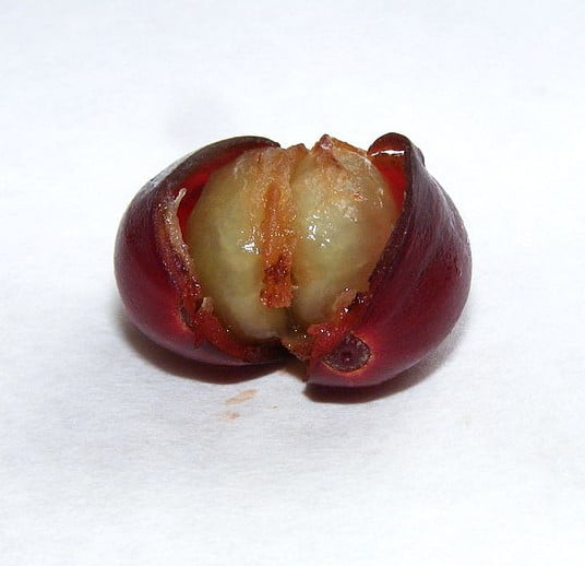 Coffee fruit showing bean inside. Photo Stanislaw Szydlo