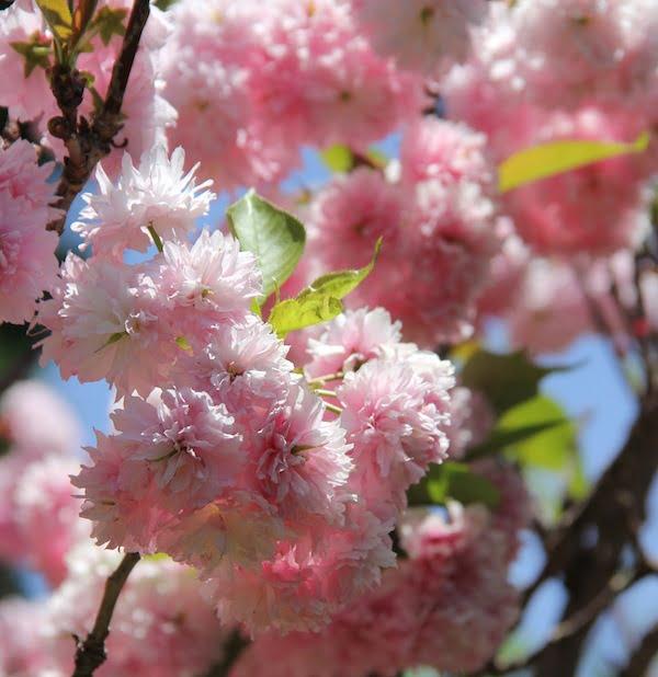 Double flowering cherry