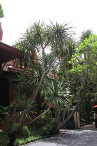 Dracaena loureirii dominates the car turnaround area