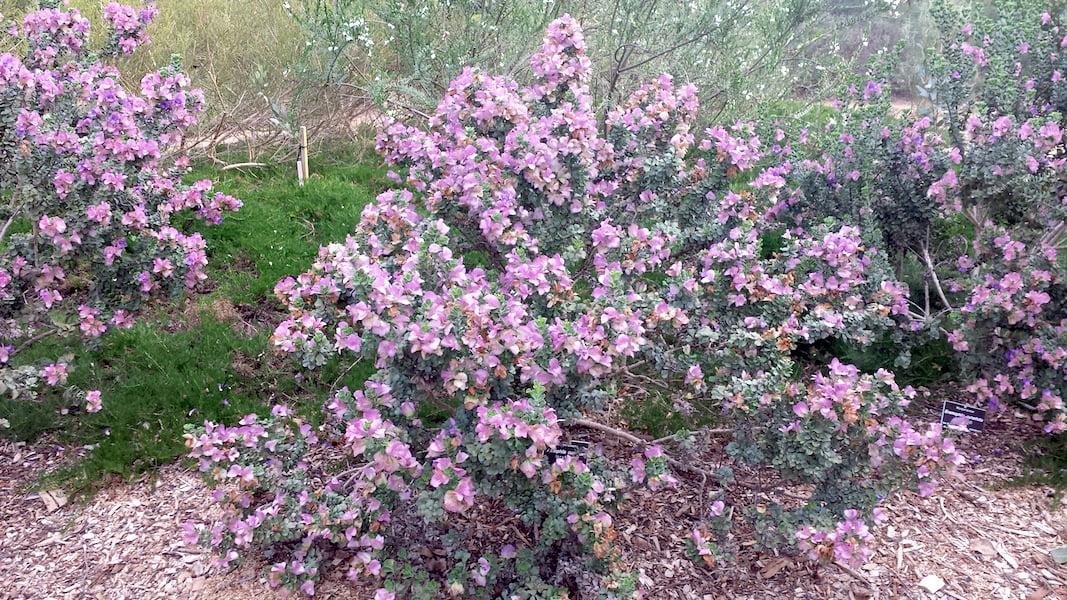 Eremophila cuneifolia in Adelaide Botanic Gardens