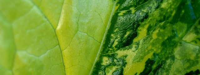 Acanthus mollis variegated leaf