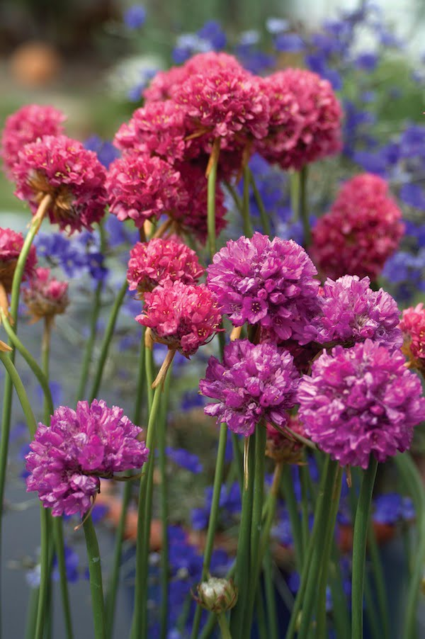 Armeria Bees Assorted