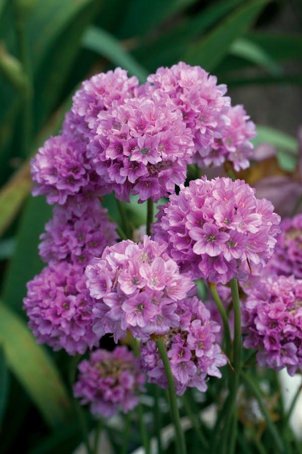 Armeria Bees Lilac