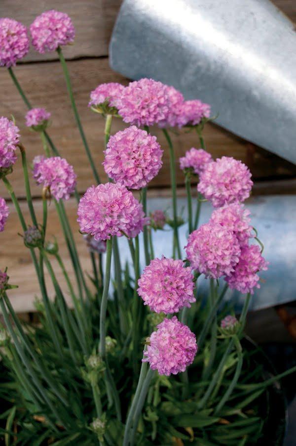 Armeria Bees Pink