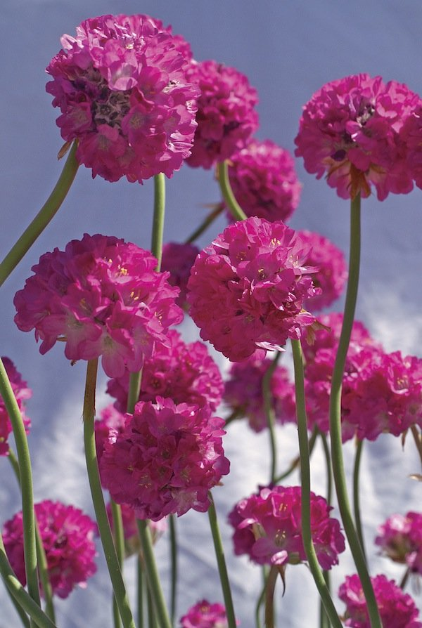 Armeria Bees Collection Ruby