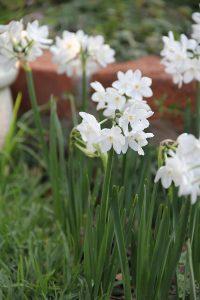 Paperwhite daffodils