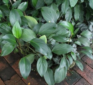 Philodendron 'Thai Congo' is used as a lush groundcover