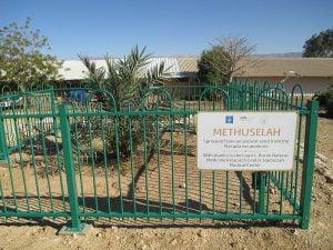 PikiWiki_Israel_29317_Methuselah_date_palm_from_Massada_ruines_in_kibbu