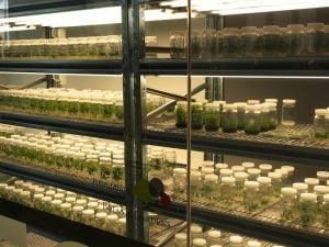 PlantBank tissue culture