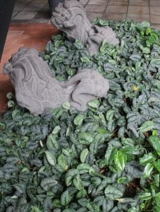 Scindapsus pictus, a popular houseplant, makes a great groundcover.