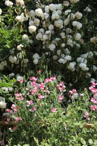 Sweetpeas and common snowball bush