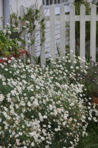 White daisy bushes