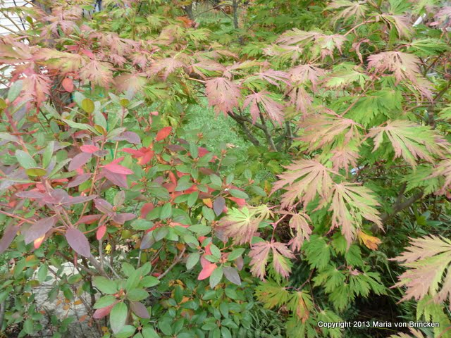 Acer folicifolium or Laceleaf Japanese Maple with PJM rhododendren