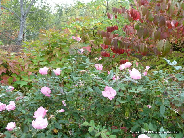My favorite today–'Knock-out' pink roses paired with burgundy viburnum 'Mariesii' foliage