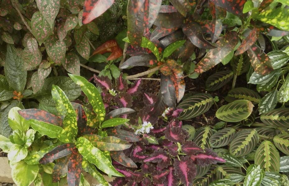 variegated coleus