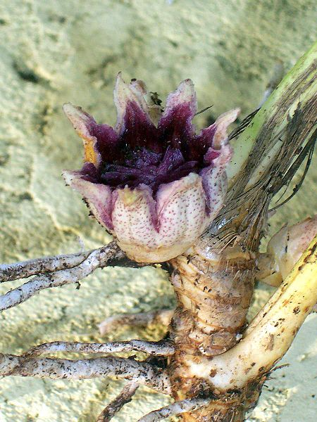 Aspidistra elatior flower