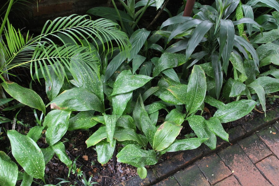 An attractive spotted leaf Aspidistra
