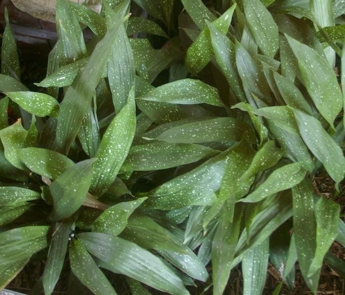 Aspidistra lurida 'Ginga' forms at attractive groundcover