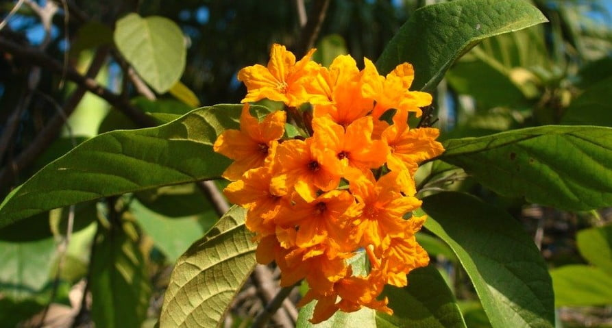 Cordia subcordata in Darwin Botanical Gardens