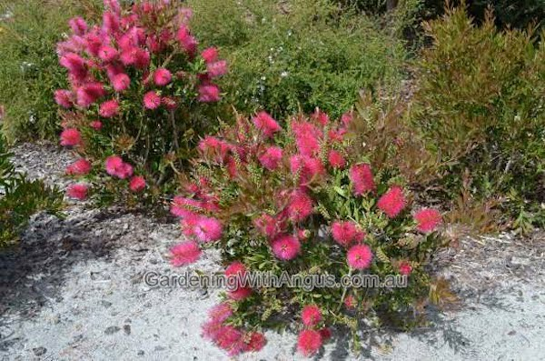How to prune australian native plants