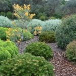 How to prune australian native plants5
