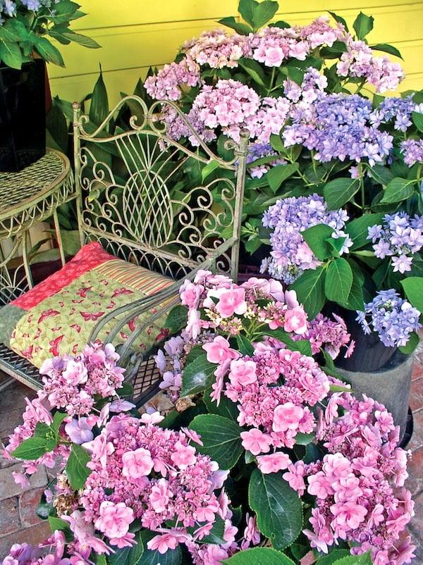 Hydrangea You&Me in pots
