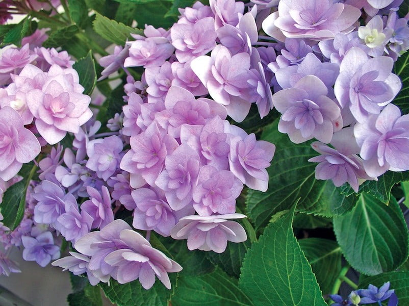 Hydrangea You&Me neutral soil lilac flowers