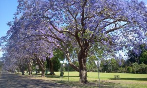 Jacarandas in Grafton Photo Louise McDaid