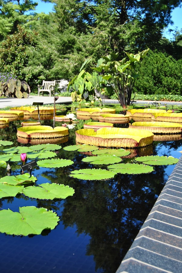 Victoria amazonica with Nymphaea 'Shirley Bryne' in the foreground
