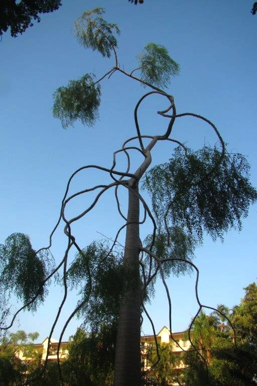 Serpentine branches of Moringa in Darwin Botanical Gardens