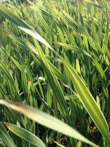 Typha capensis 'variegata'