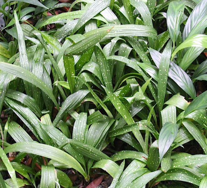 Yet another attractive spotted leaf Aspidistra