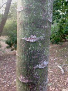 Illawarra flame tree bark