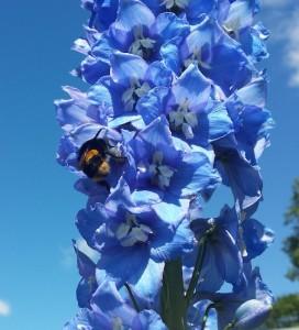 Bee on delphinium Entally House Tasmania