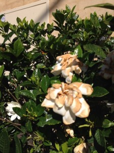 Gardenias take on that beige look as they fade