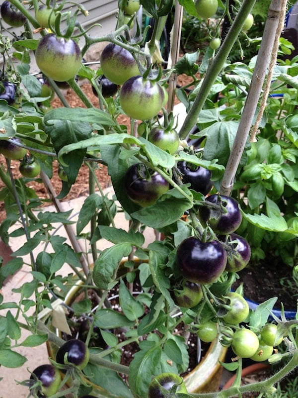 Indigo Rose tomatoes were gorgeous, but didn't taste like much