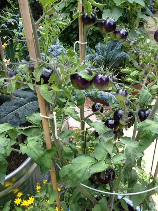 More tomato Indigo Rose porn