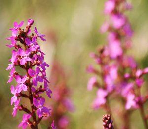 Stylidium graminifolium flower spike Photo MICK STANIC