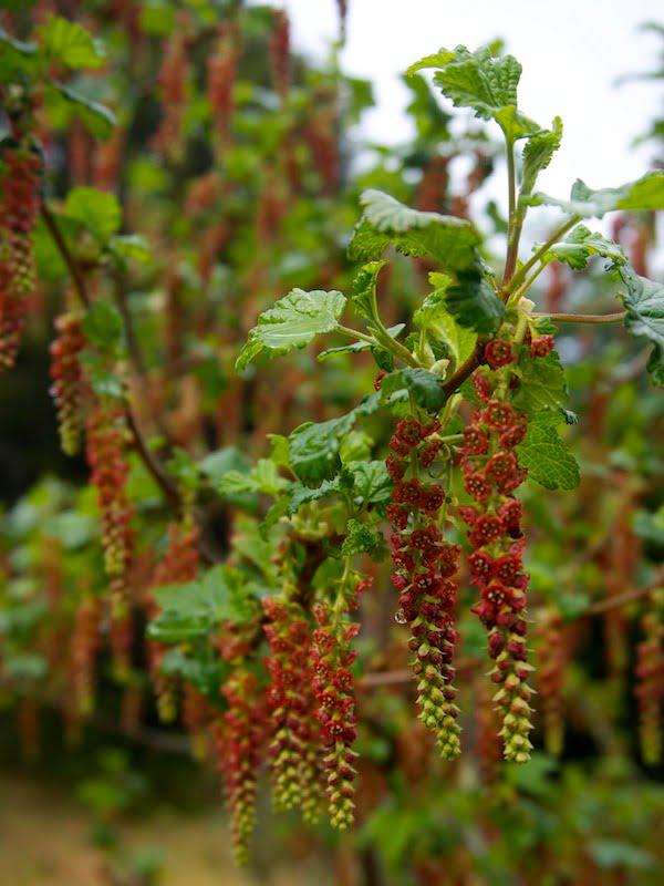 Wild currant Ribes magellanicum